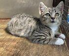 Donate a dinner for Hilde the little tabby stray kitten - Ceredigion Cat Rescue