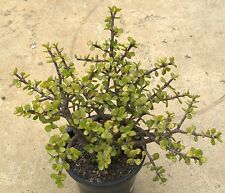 Potulacca afra, well rooted cutting cactus, succulent, collectable plant, bonsai