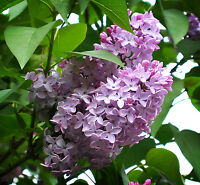 (2) Fragrant Old Fashioned Purple Lilac, 2 Young Bare Root Plant Divisions.