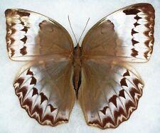 "New ListingInsect/Butterfly/ Stichophthalma cambodia - Female Aberration 4 1/4"""