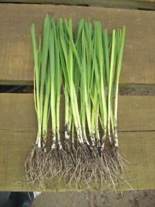 20 BARE ROOTED MUSSELBURGH LEEK PLANTS - FIELD GROWN LEEK
