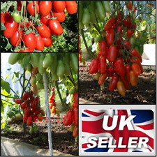 100 Seed Italian Tomato Tree Cherry Unique Vegetable Plum Red Sweet Fruit Garden