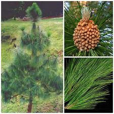 10 semi di Pinus roxburghii, pino dell'Himalaya, semi bonsai