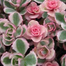Tricolor Sedum Spurium Succulent - Variegated Stonecrop Succulents in 2 inch pot