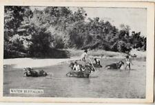 DA38.Vintage Postcard.  Animals. Cattle. Water Buffaloes.