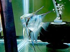 6 Philippine Blue Angelfish
