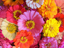 Mixed Zinnia Seeds, Bulk Seed, Heirloom Zinnia Seed, Non-gmo Annual Flower 400ct