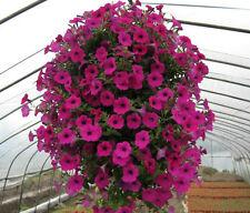 PETUNIA HYBRID MIXED FLOWER SEEDS - Pack of 50 Seeds.