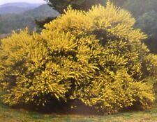 "MODEL AUSTRALIAN GOLDEN WATTLE BUSHES HO SCALE    "" A mass of colour ""  Set of 6"