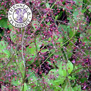 Rare TALINUM paniculatum Jewels of Opar 5 seeds UK SELLER