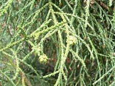 Athrotaxis laxifolia - 15 seeds