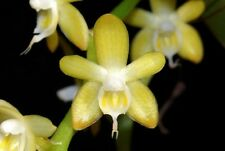 Orchid Diploprora championii   Mounted Species