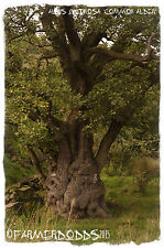 Alnus glutinosa 'Common Alder' [Ex. Co. Durham] 100+ SEEDS
