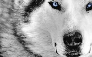 Framed Print - Black & White Siberian Husky with Blue Eyes (Picture Animal Art)