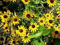 Black-Eyed Susan (Rudbeckia Hirta)- 400 Seeds