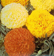 Marigold Seeds Crackerjack Mixed Colors 50 Attract Hummingbirds Butterflies!