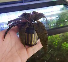 Cryptocoryne Wendtii Bronze, beautiful dark bronze color, Easy aquatic plant