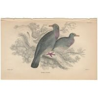 Jardine/Lizars antique hand-colored engraving bird print Pl 1 Ring Dove