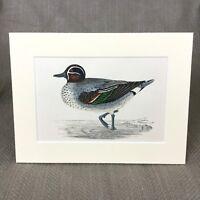 1860 Alzavola Anatra Papere Uccelli Wildfowl Mano Colorato Originale Antico Con