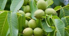 Bio 1kg grüne Walnüsse,schwarze Nüsse aus Biogarten im Thüringer Wald