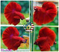 #2192 - Live Betta Fish High Quality Halfmoon High Quality Super Red Chili