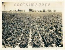 1940 Sugar Beet Field Burley Idaho Press Photo