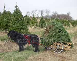 Germantown MD Newfoundland dog Christmas tree photo CHOICE 5x7 or request 8x10..
