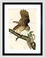PAINTING BOOK PAGE BIRDS AMERICA AUDUBON BARRED OWL FRAMED ART PRINT B12X3813
