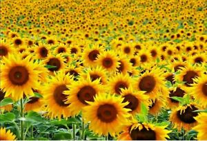 25 -1000 YELLOW SINGLE GIANT SUNFLOWER SEEDS  (HELIANTHUS ANNUUS) TO GROW