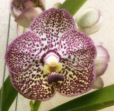 Orchid Vanda Kulwadee Fragrance Ky Yisib Jeb …………… Stock #394-12