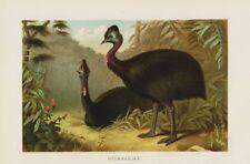 Helmkasuar corre pájaro Casuarius casuarius casuario litografía 1892