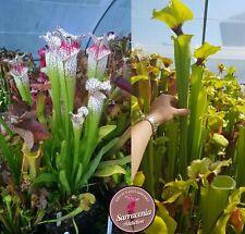 35) Pack of Sarracenia seeds 2020/2021, carnivorous plants rare