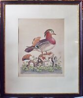 """Kupferstich Ente,""""The Chinese Teal"""", G.Edwards, London 1746, coloriert"""