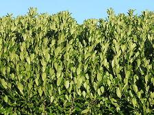 15 Cherry Laurel Fast Growing Evergreen Hedging Plants 25-30cm in Pots