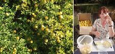 Jungpflanze Orangenbaum : Winterhärteste Zitrusfrucht der Welt ! Palme ...