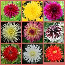 50 Dahlias Flower Seeds 10 Kinds Home Garden, Amazing Beautiful Fragrant Plants