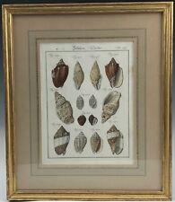 Fine Gold Leaf Framed Antique German 18c Hand Colored Sea Shell Print 149 NR KPB