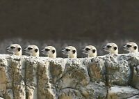 Cute Funny Meerkats Poster Print Size A4 / A3 Wild Animals Poster Gift #8583