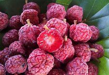 20 Graines Maclura / Cudrania Tricuspidata Chinese Mulberry seeds
