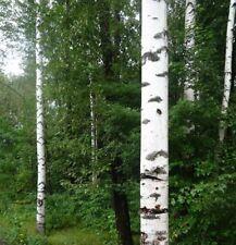 100 JAPANESE WHITE BIRCH * TREE SEEDS * WHITE  BIRCH TREE  BONSAI PEALING BARK