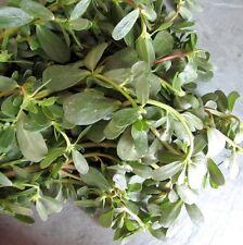 1g (approx. 2500) purslane seeds PORTULACA OLERACEA five times richer in omega-3