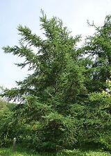 Larix gmelinii LARCH Tree Seeds!