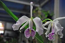 Orchidée Maxima semi-Alba 'la Pedrena' striata Cattleya Jeune Plante
