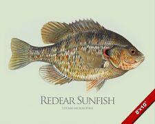 REDEAR SUNFISH GEORGIA BREAM CHERRY FISH PAINTING FISHING ART REAL CANVAS PRINT