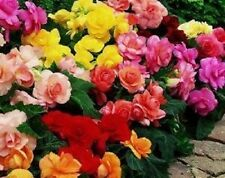 30+ GORGEOUS BEGONIA  MIX FLOWER SEEDS    ANNUAL or  INDOOR HOUSE PLANT