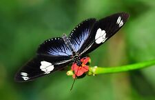 Doris Longwing Butterfly Heliconius doris obscurus Folded Fast From Usa