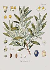 Botanical Herb Medicinal Olive Tree - 96 Vintage Art Print/Poster