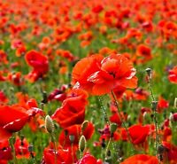 Red Poppy Flower 2500 Seeds Papaver Rhoeas Annual Flower Seeds Free Shipping
