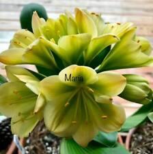 2 Amaryllis Usa Clivia Seeds Hattori Teresa (Japan) X Hattori Mikaela(Japan)
