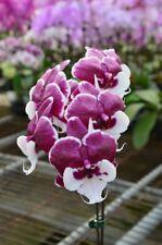 Orchid Phalaenopsis.Allura 'Santa Claus'